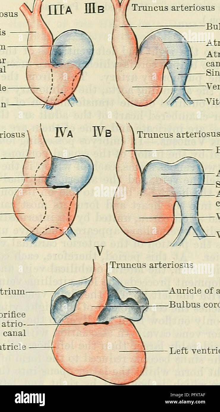 Cunningham\'s Text-book of anatomy. Anatomy. Primitive ventral aorta ...