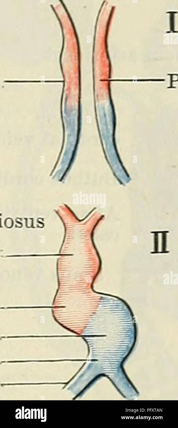 Cunningham\'s Text-book of anatomy. Anatomy. DEVELOPMENT OF THE ...