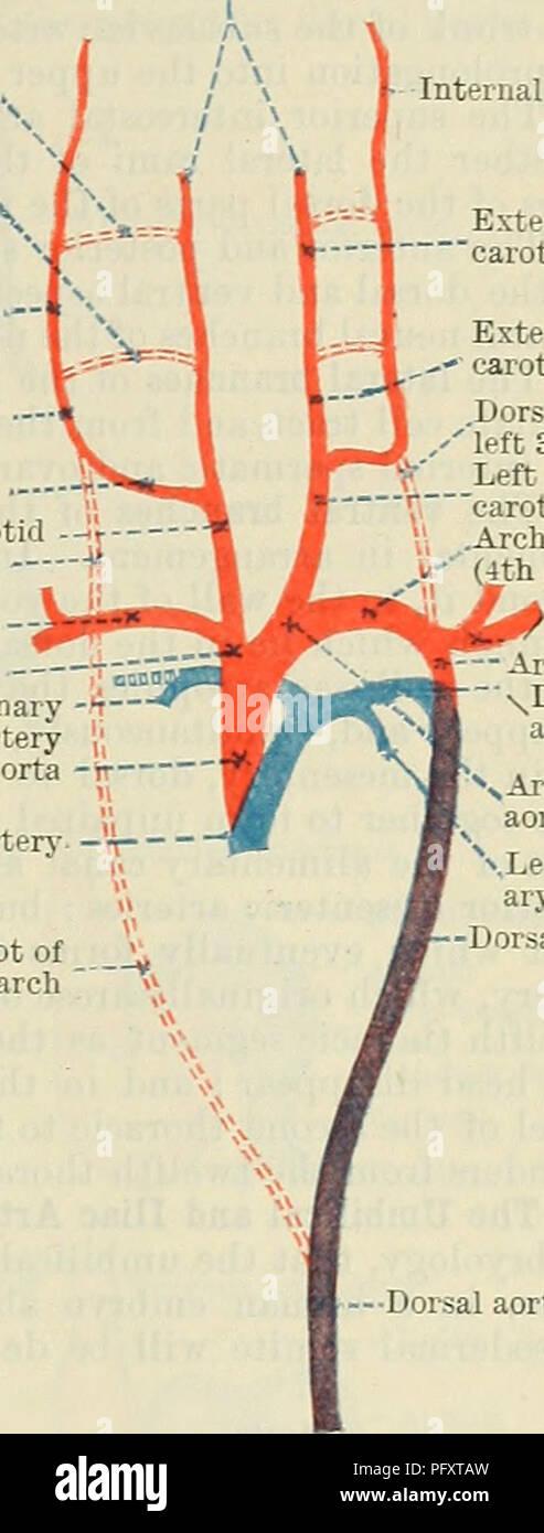 Ductus Arteriosus Stock Photos & Ductus Arteriosus Stock Images - Alamy