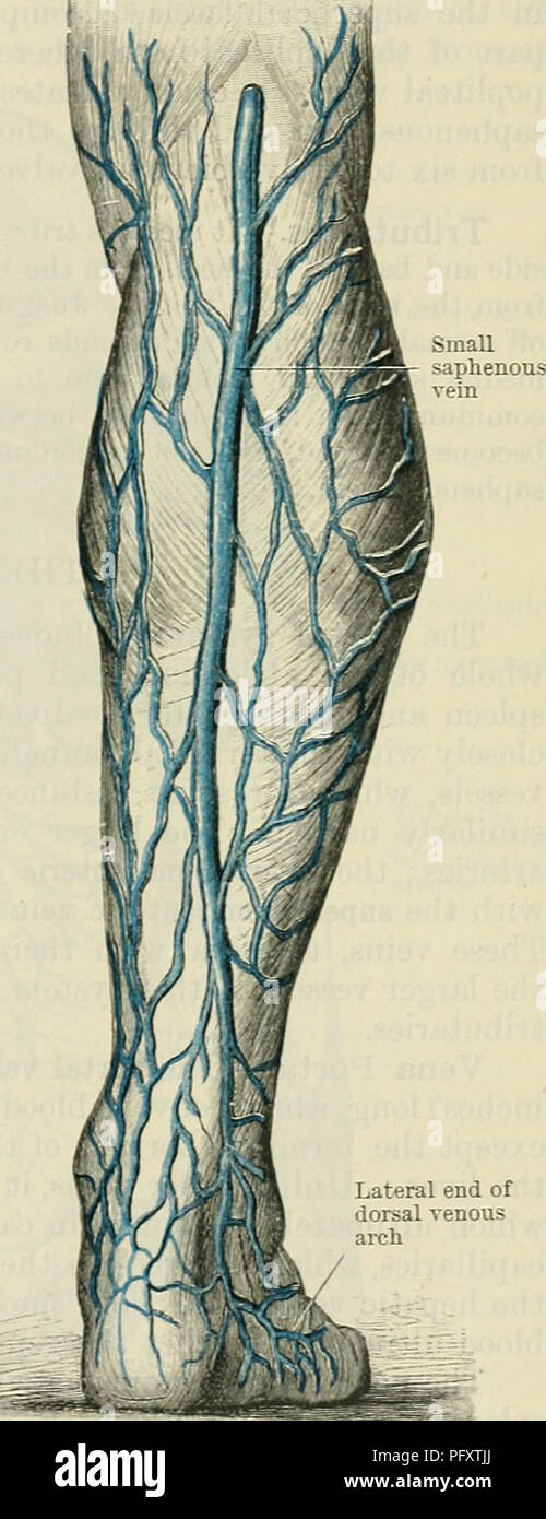 Small Saphenous Vein Stock Photos Small Saphenous Vein Stock
