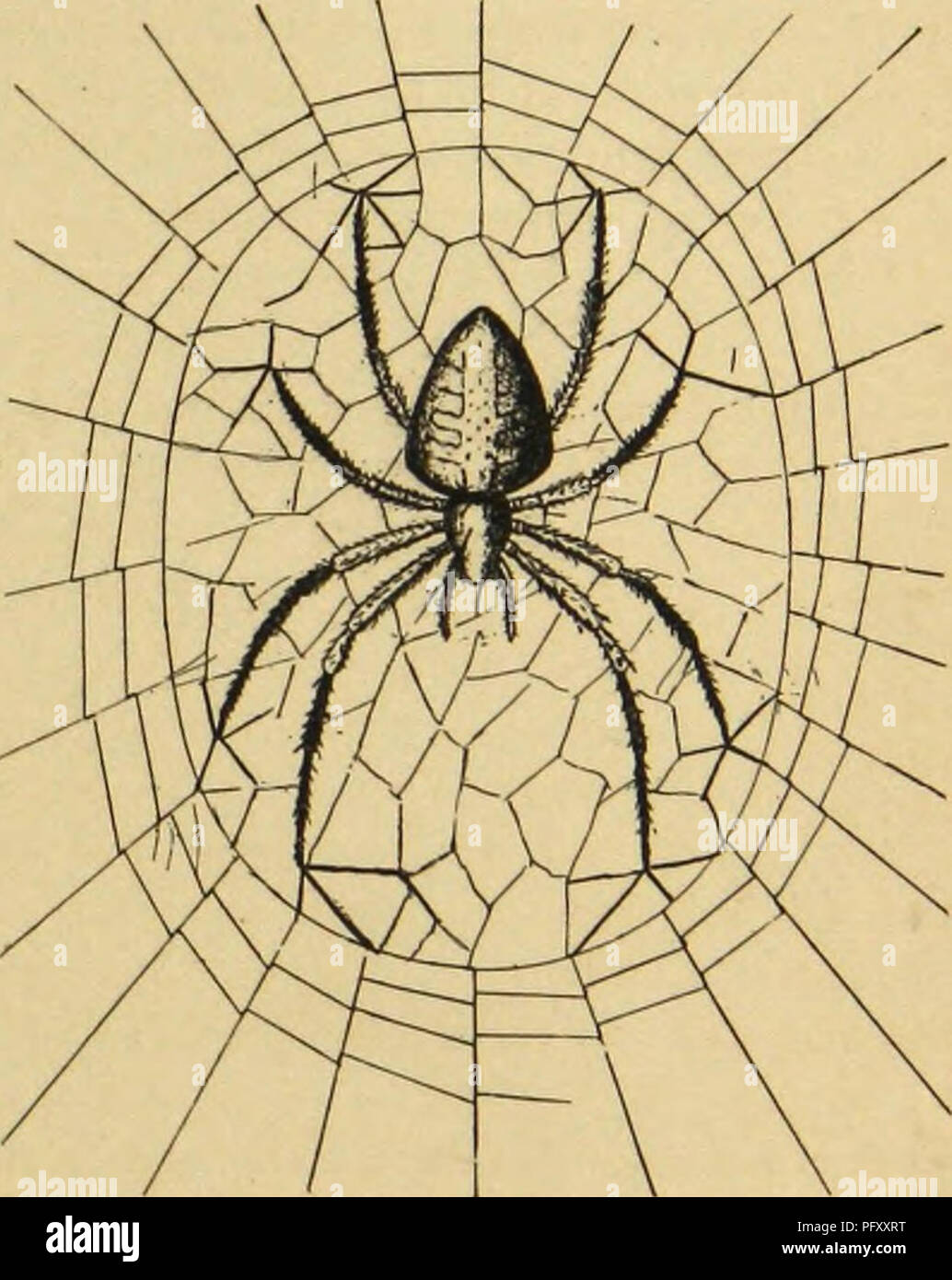 . American spiders and their spinning work. A natural history of the orbweaving spiders of the United States, with special regard to their industry and habits. Spiders. WEAVERS OF ROUND WEBS. 113 Head Down- ward Natural toward the web. The posture at the hub, therefore, is the natural one taken when, upon disturbance of tlie snare, the arancad runs down the trapline to tlie centre. Convenience and habit combine to fix the posture as we find it. Moreover, the majority of vertical orbwebs have the longer part of the spiral surface available for capture of insects below the median horizontal line - Stock Image
