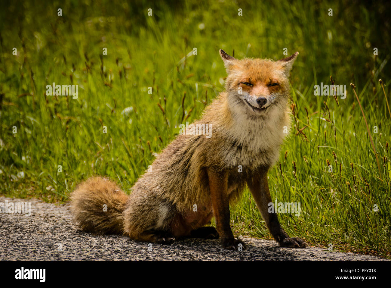 a smart fox looking for food - Stock Image