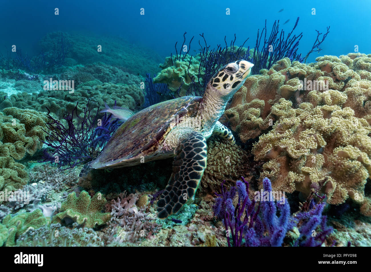 Hawksbill sea turtle (Eretmochelys imbricata), in the coral reef between Red sea whip (Ellisella sp.) and leathery corals - Stock Image
