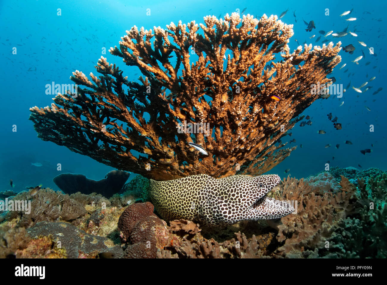 Laced moray (Gymnothorax favagineus), with open mouth, under Agropora table coral (Acropora sp.), Daymaniyat Islands Nature - Stock Image