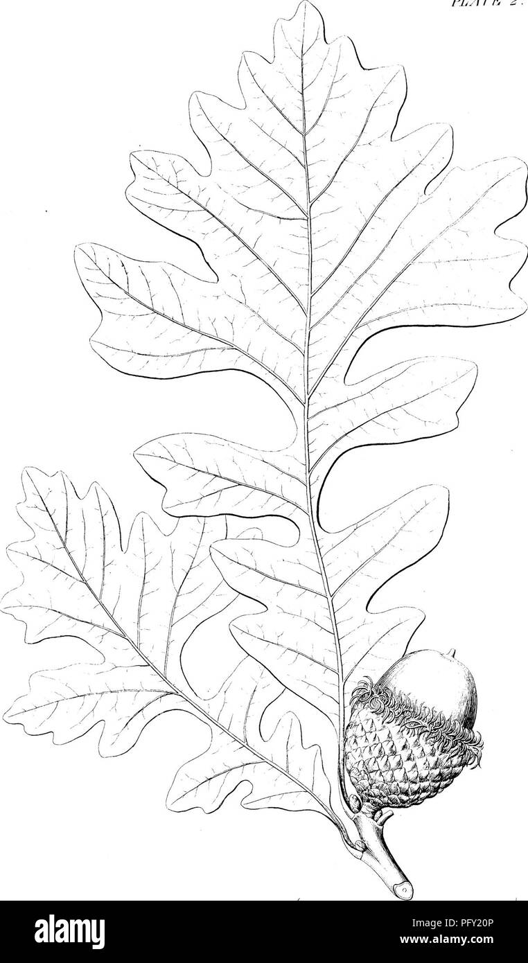 . A report on the trees and shrubs growing naturally in the forests of Massachusetts : Published agreeably to an order of the Legislature, by the Commissioners on the zoological and botanical survey of the state. Trees; Shrubs; 1846. I'LATK #.. OVERCUP WHITE OAK. / Qiiercas Mcwrocarpw TrmUi h &â i. V.Sudic/rit XTcrl<y-. Please note that these images are extracted from scanned page images that may have been digitally enhanced for readability - coloration and appearance of these illustrations may not perfectly resemble the original work.. Emerson, George B. (George Barrell), 1797-1881; Wi - Stock Image