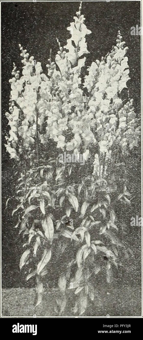 . Currie's garden annual : spring 1931 56th year. Flowers Seeds Catalogs; Bulbs (Plants) Seeds Catalogs; Vegetables Seeds Catalogs; Nurseries (Horticulture) Catalogs; Plants, Ornamental Catalogs; Gardening Equipment and supplies Catalogs. CURRIE BROTHERS CO, MILWAUKEE, WISCONSIN. Antirrhinum—Giant Flowering. NEW LARGE FLOWERING HALF-DWARF SNAPDRAGON Semi-Tall Sorts, 18 to 20 inches Are particularly good for bedding, as they require no staking. The flowers are most wonderful, in many new shades and tints. Pkt. Amber Queen—Amber suffused chamois, gold lip..$0.15 Climax—Brilliant rose carmine 15  Stock Photo