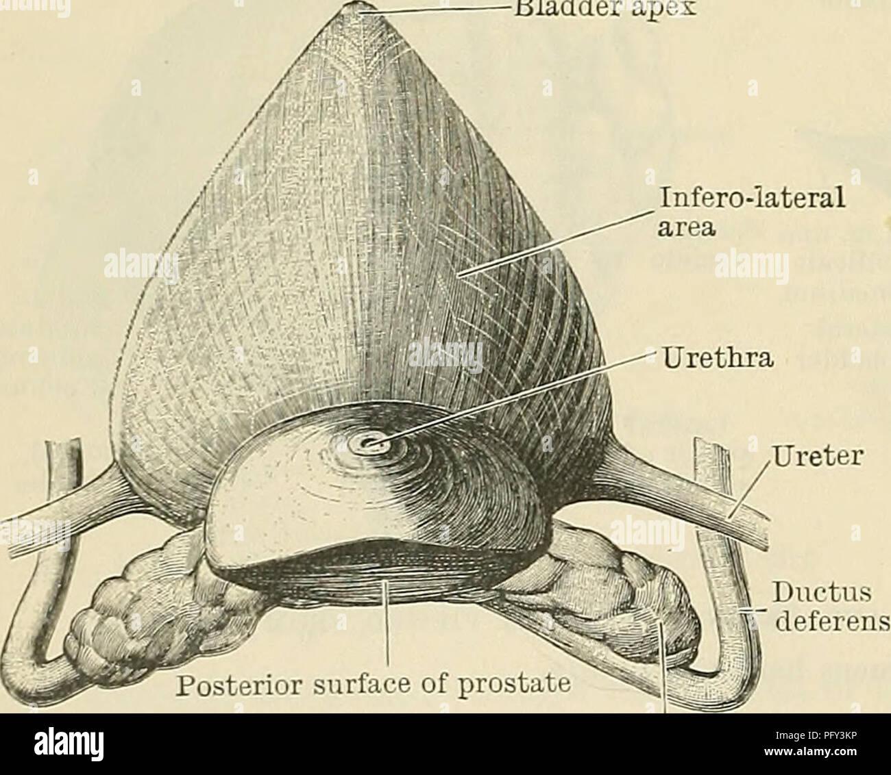 Pelvic Diaphragm Stock Photos & Pelvic Diaphragm Stock Images - Alamy
