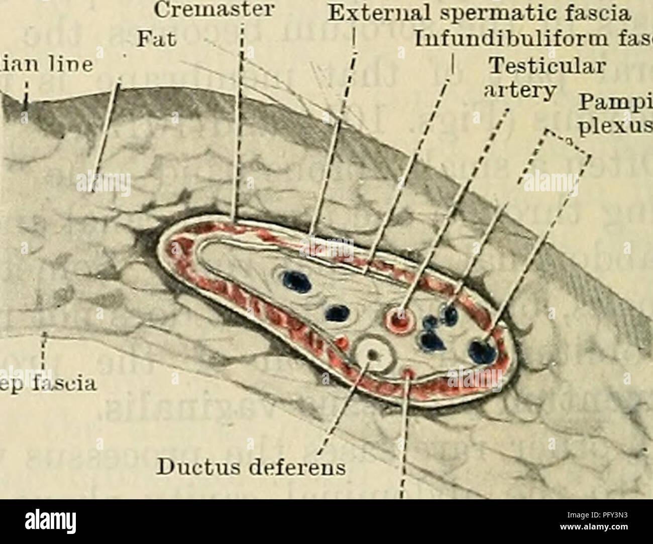 Cunningham\'s Text-book of anatomy. Anatomy. ax. Abdominal cavity ...