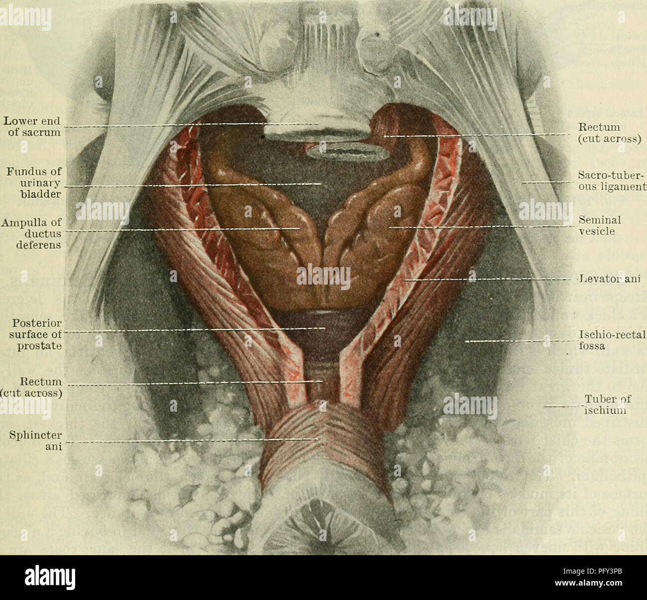 Cunninghams Text Book Of Anatomy Anatomy Rectum Lower End Of