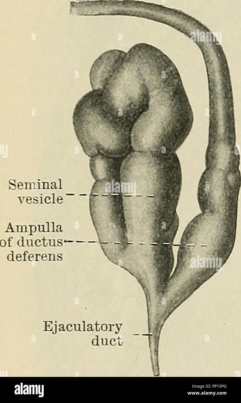 Seminal Vesicle Stock Photos & Seminal Vesicle Stock Images - Alamy