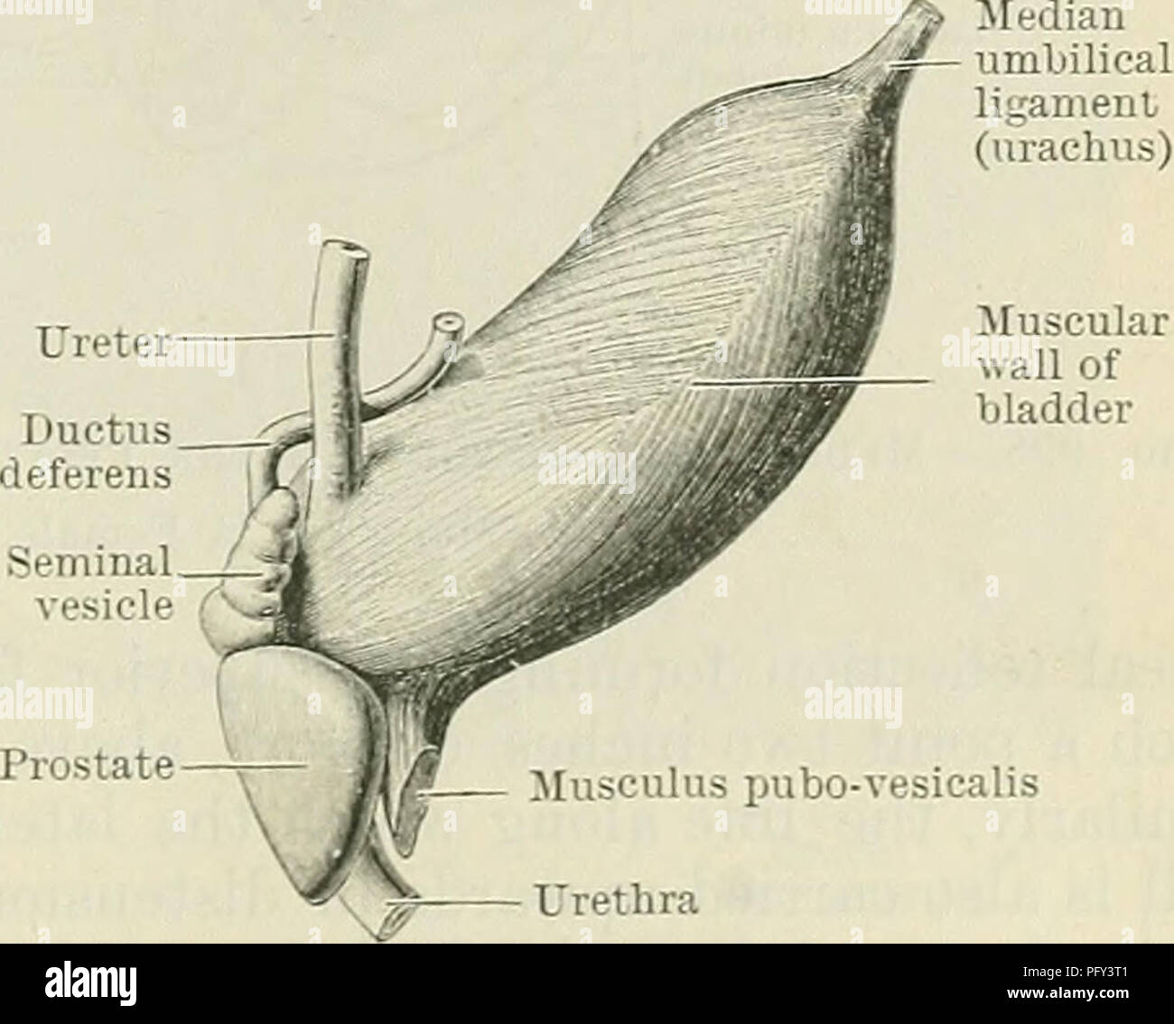 . Cunningham's Text-book of anatomy. Anatomy. Labium posterius (cervicis uteri) _ I Sphincter ani Ureter Muscular wall of bladder Fig. 996.—Median Section of the Pelvis in an Adult Female. The cavity of the uterus is indicated diagraniniatically. bladder is spindle- or torpedo-shaped, and its long axis, which extends from the point of attachment of the urachus to the internal urethral orifice, is directed downwards and backwards (Fig. 997). The lateral and posterior borders seen in the adult organ cannot be recognised at birth, nor is there any part of the bladder wall directed downwards and b - Stock Image