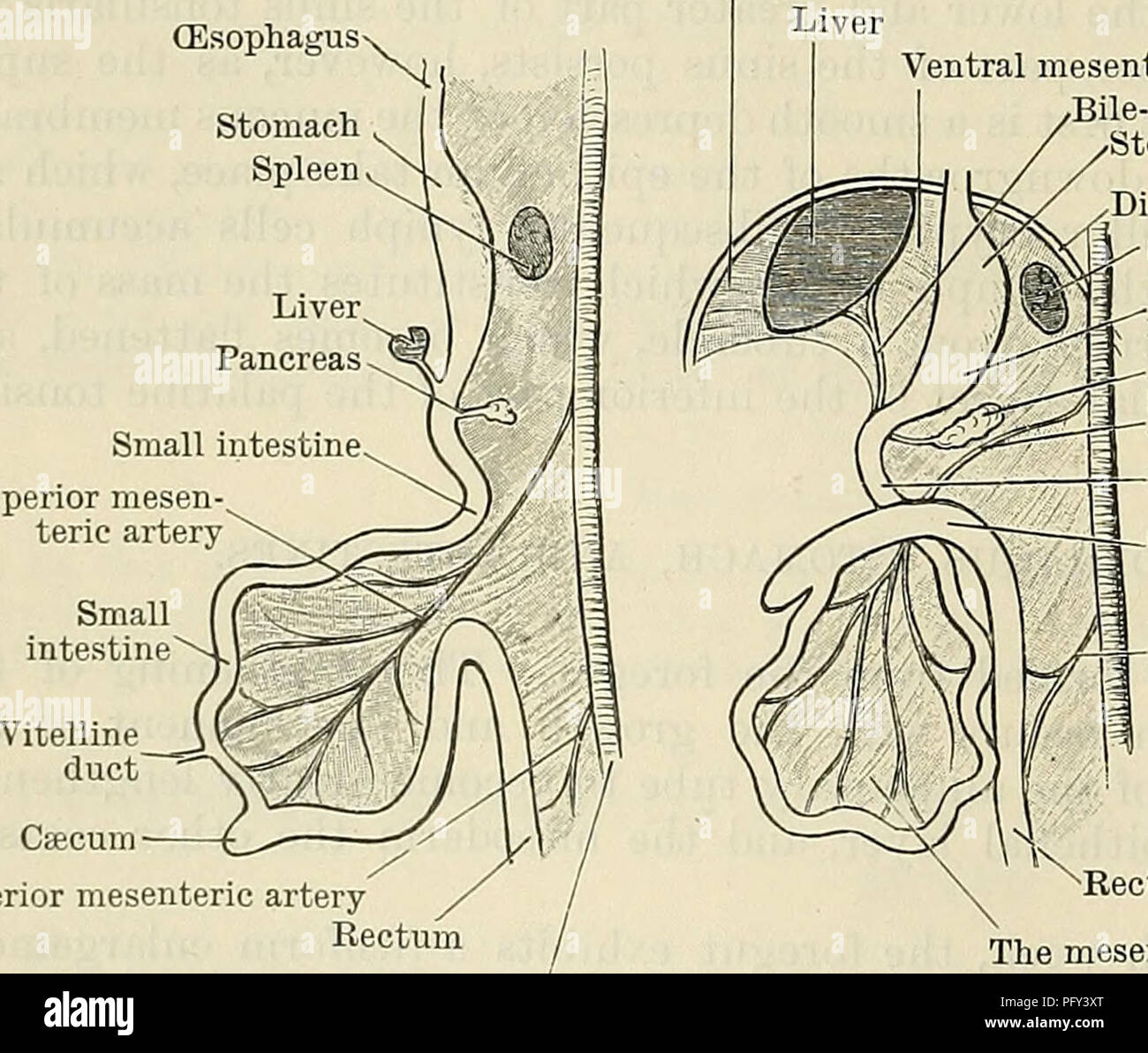 Cunninghams text book of anatomy anatomy 1250 the digestive anatomy 1250 the digestive system the abdomen already at the fifth or sixth week the adult form of the stomach is clearly indicated ccuart Image collections