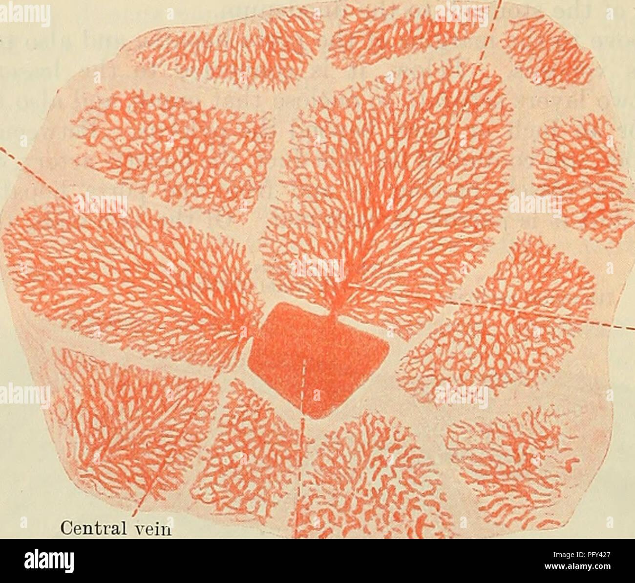 Liver Lobules Stock Photos & Liver Lobules Stock Images - Alamy