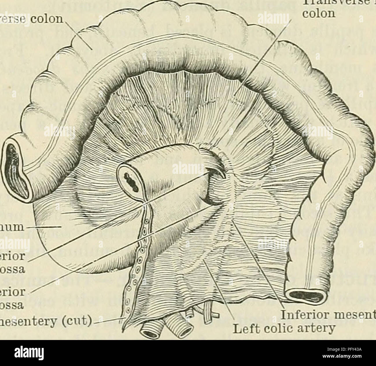 Cunninghams Text Book Of Anatomy Anatomy The Duodenum 1185 The