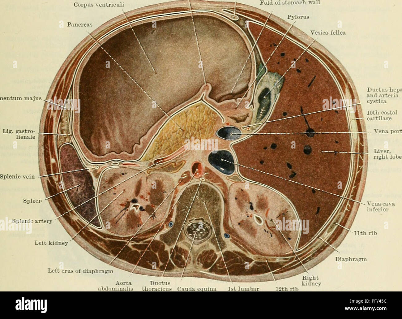 Cunninghams Text Book Of Anatomy Anatomy Eelations And Connexions