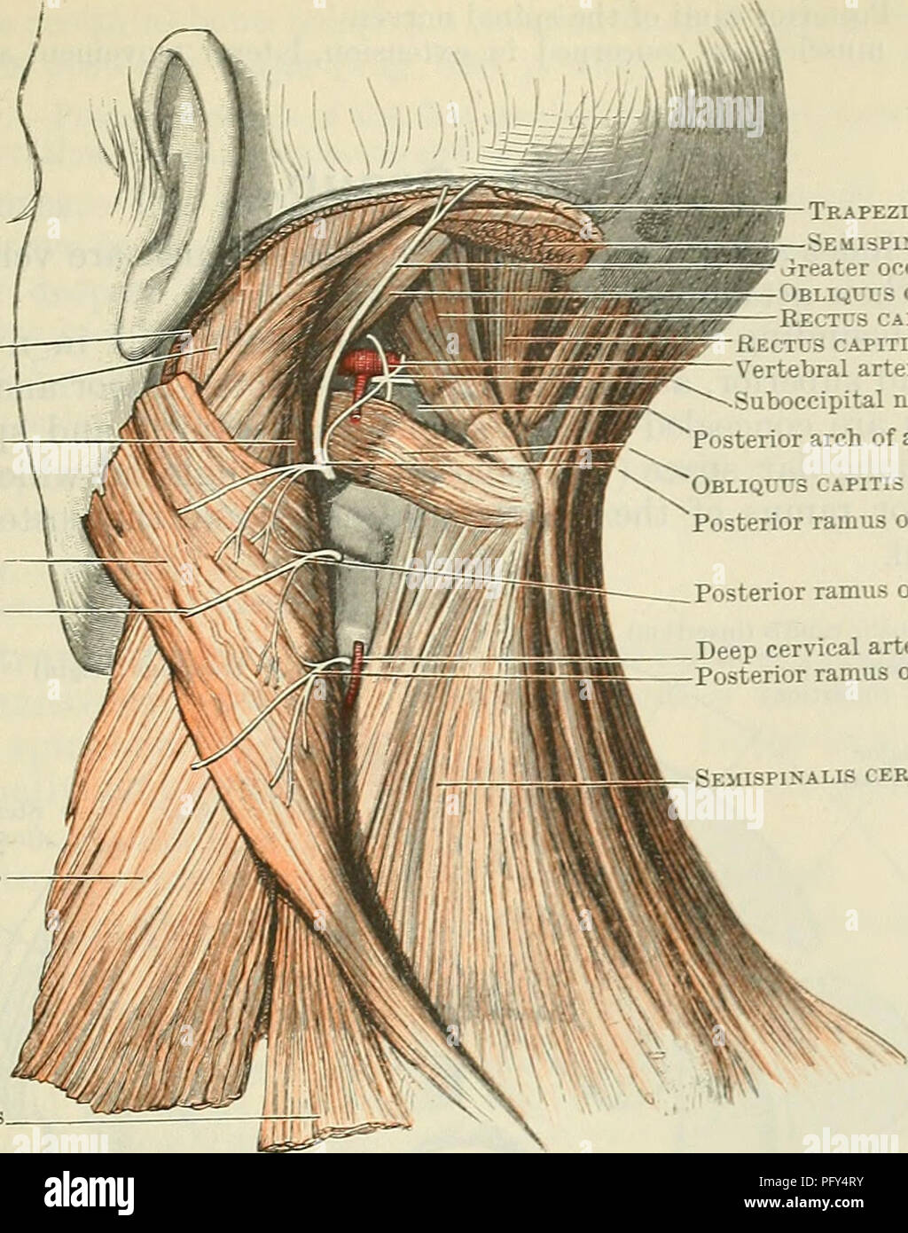 Cunningham\'s Text-book of anatomy. Anatomy. THE MUSCLES OF THE BACK ...