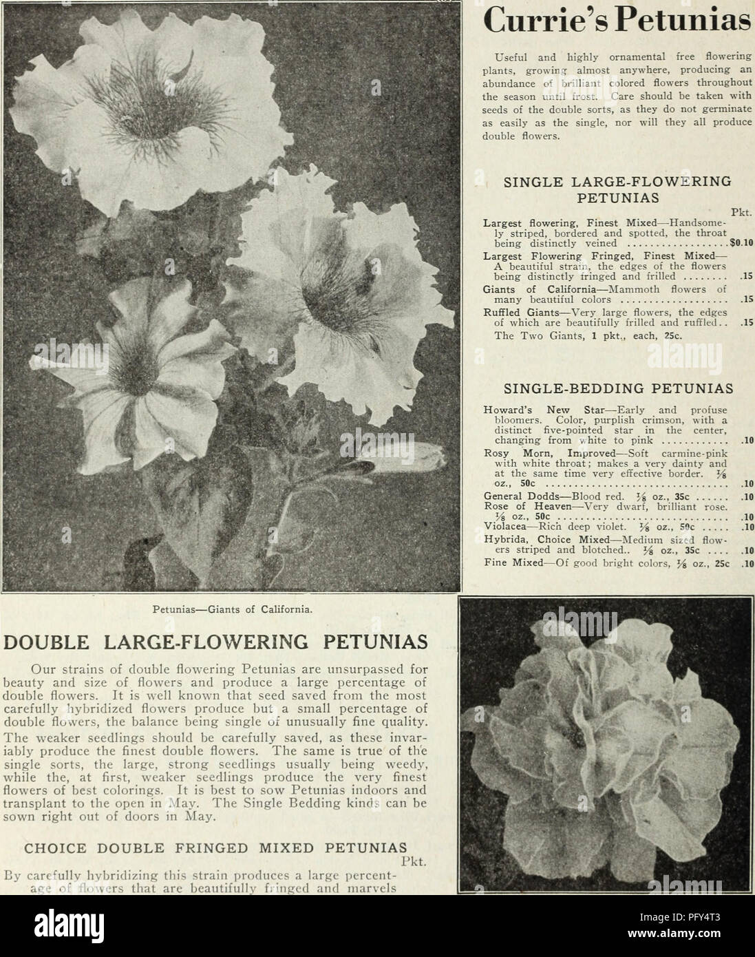 . Currie's farm and garden annual : spring 1930. Flowers Seeds Catalogs; Bulbs (Plants) Seeds Catalogs; Vegetables Seeds Catalogs; Nurseries (Horticulture) Catalogs; Plants, Ornamental Catalogs; Gardening Equipment and supplies Catalogs. Petunias—Giants of California. DOUBLE LARGE-FLOWERING PETUNIAS Our strains of double flowering Petunias are unsurpassed for beauty and size of flowers and produce a large percentage of double flowers. It is well known that seed saved from the most carefully hybridized flowers produce but a small percentage of double flowers, the balance being single of unusual Stock Photo