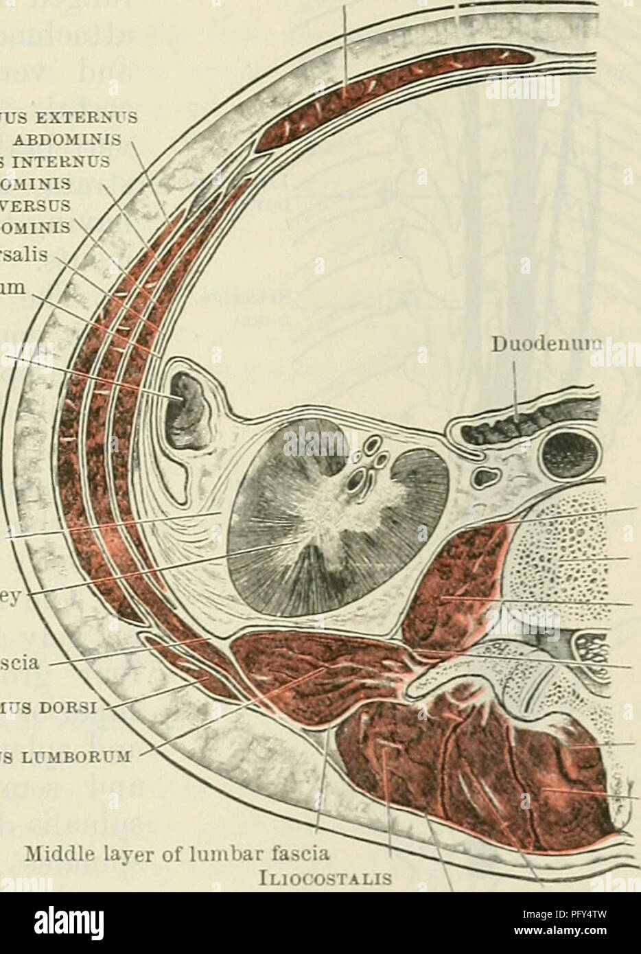 Cunninghams Text Book Of Anatomy Anatomy Axial Muscles 437 Line