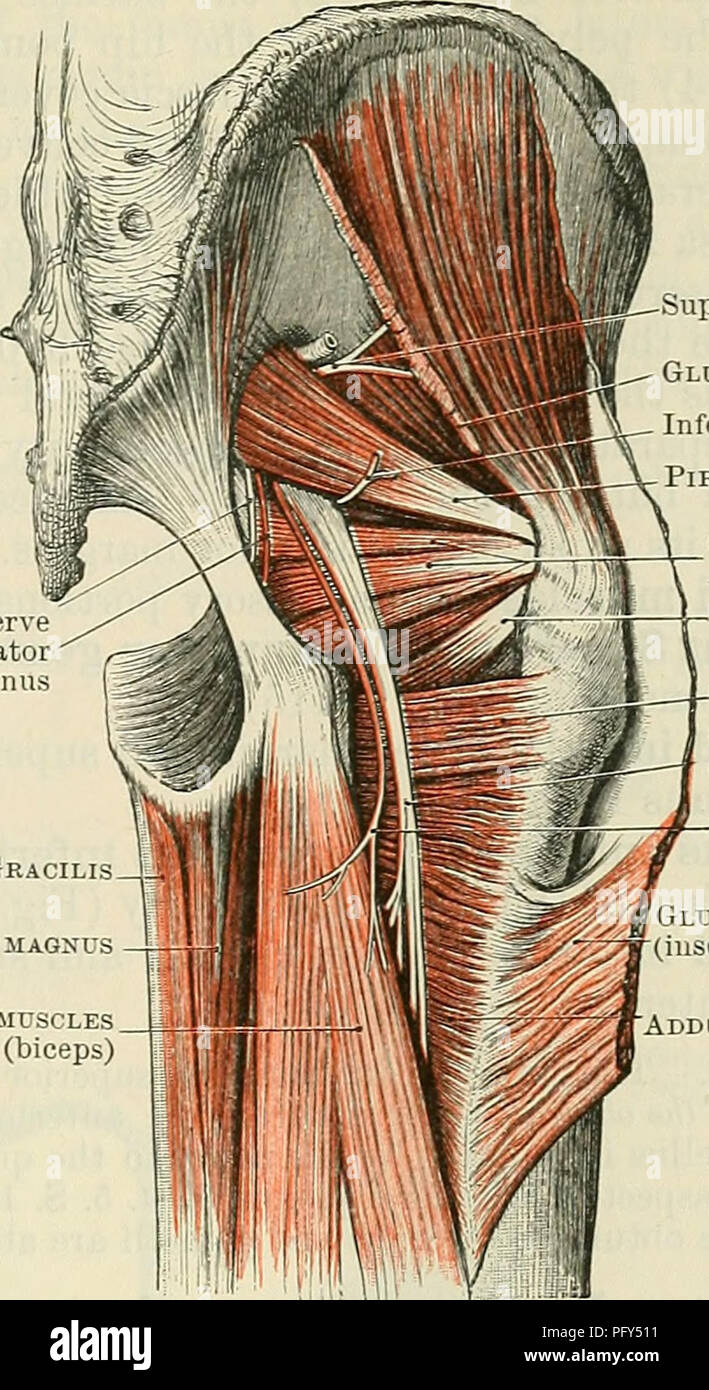Gluteal Muscles Stock Photos & Gluteal Muscles Stock Images - Alamy