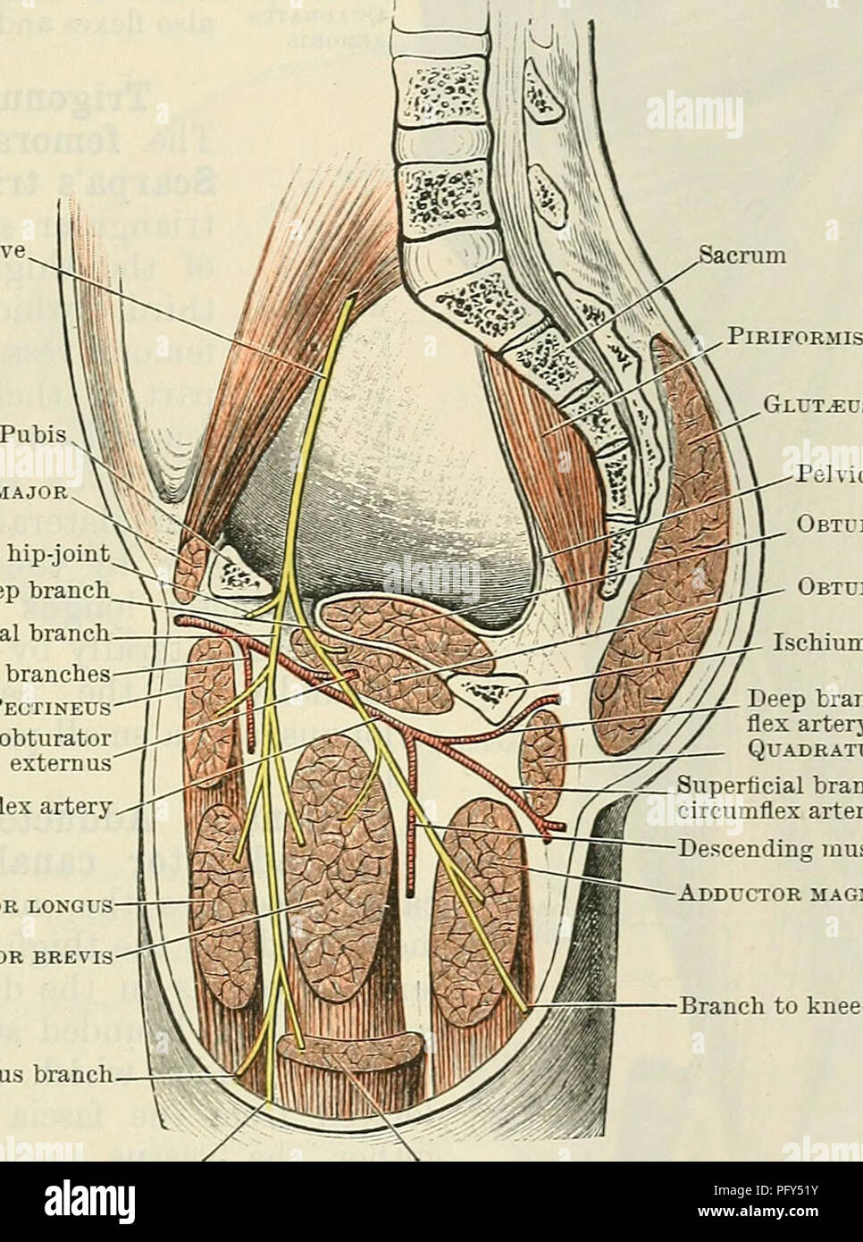 Cunninghams Text Book Of Anatomy Anatomy The Muscles On The