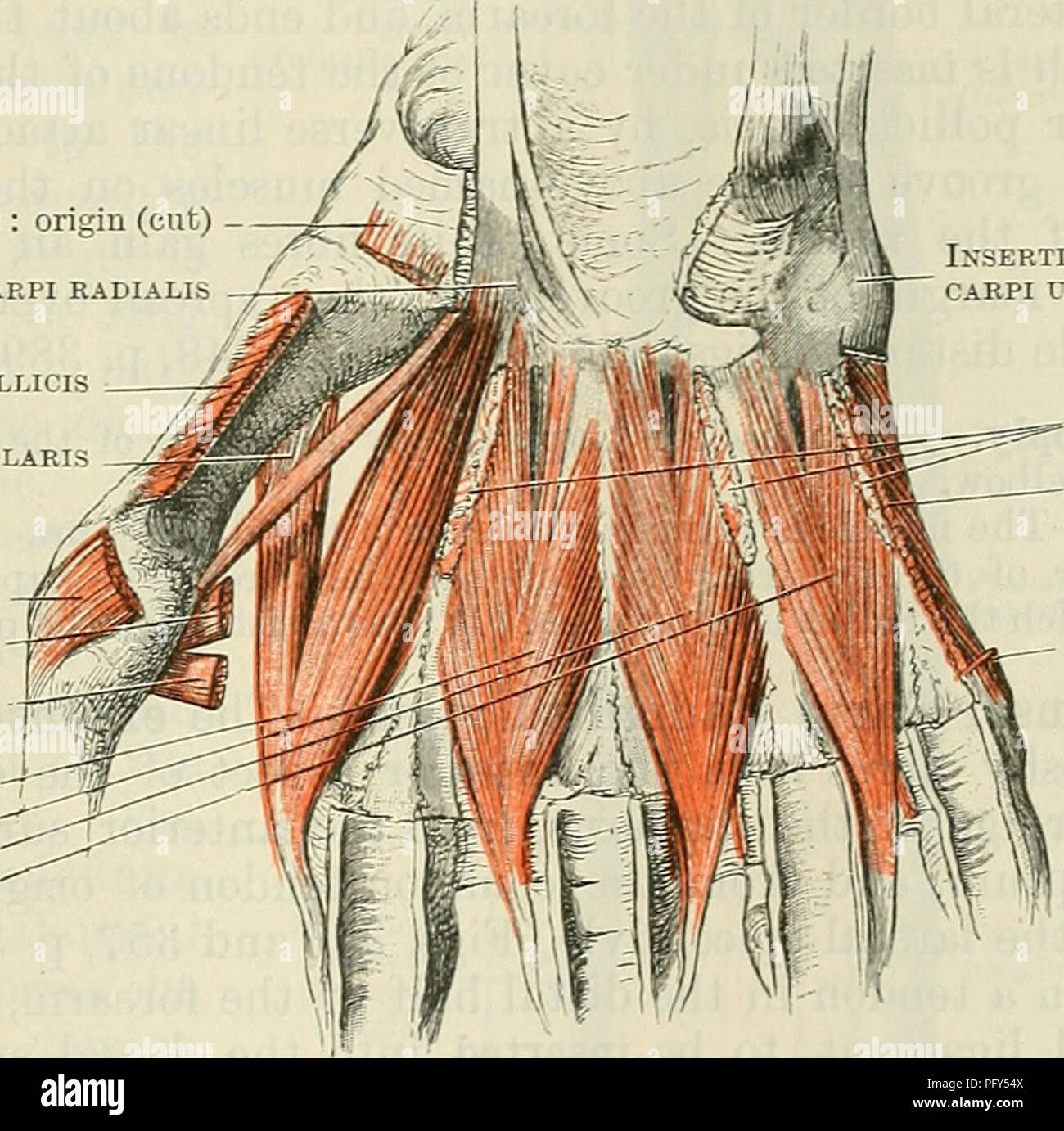 Cunninghams Text Book Of Anatomy Anatomy Muscles On The Dorsal