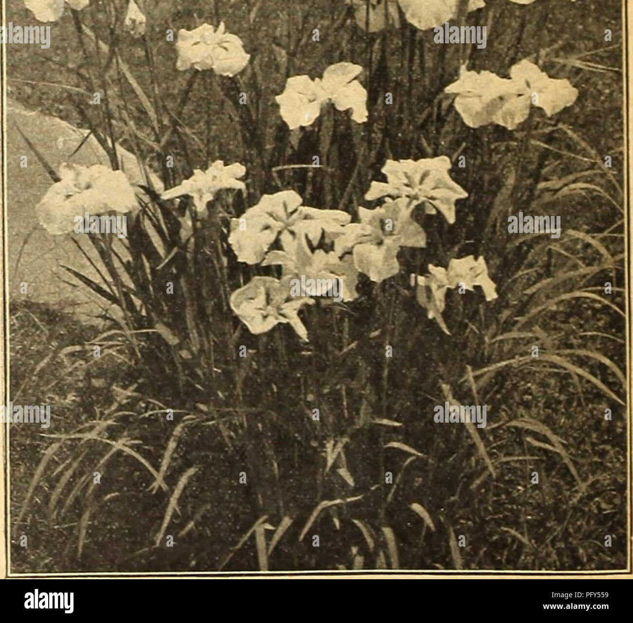 Currie\'s farm and garden annual : spring 1918 43rd year. Flowers ...