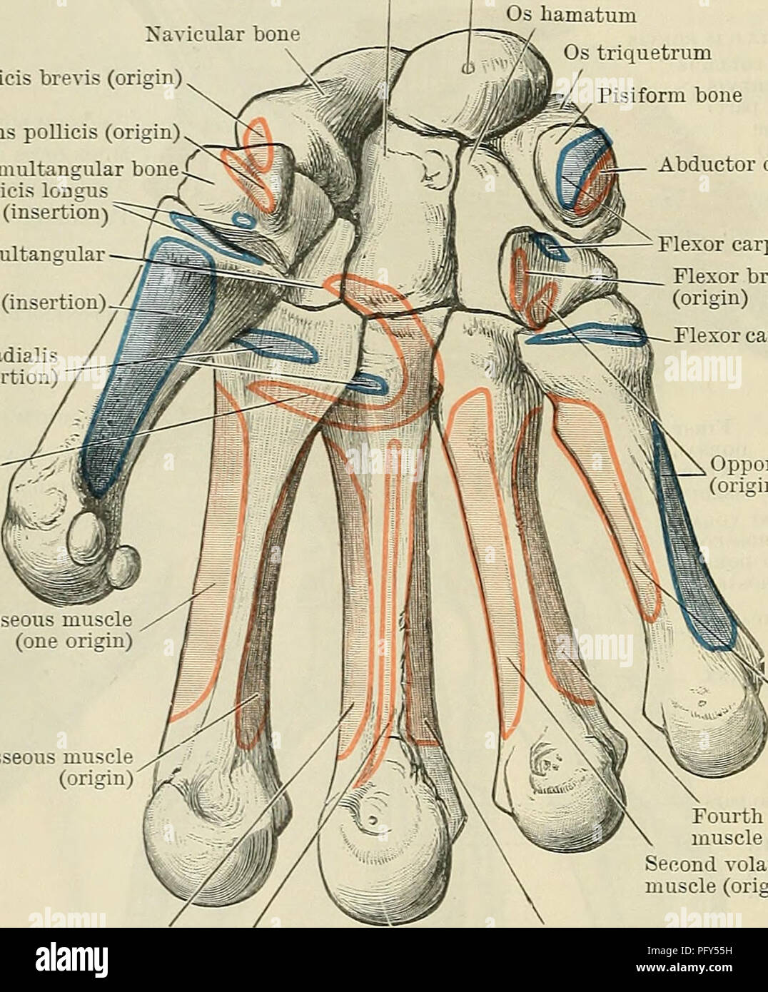 Adductor Muscles Stock Photos & Adductor Muscles Stock Images - Alamy