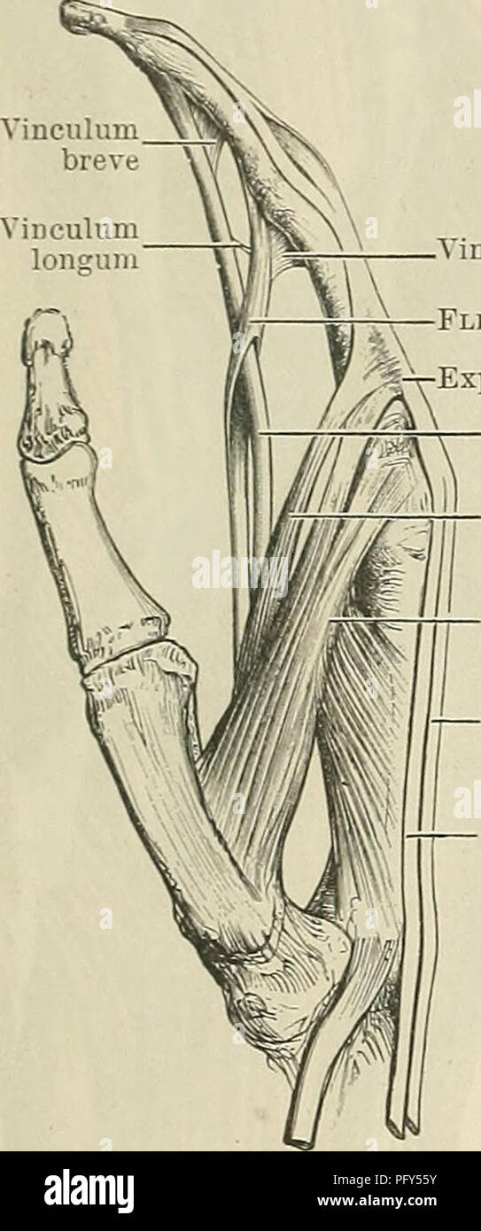 Ulnar Collateral Ligament Stock Photos & Ulnar Collateral Ligament ...