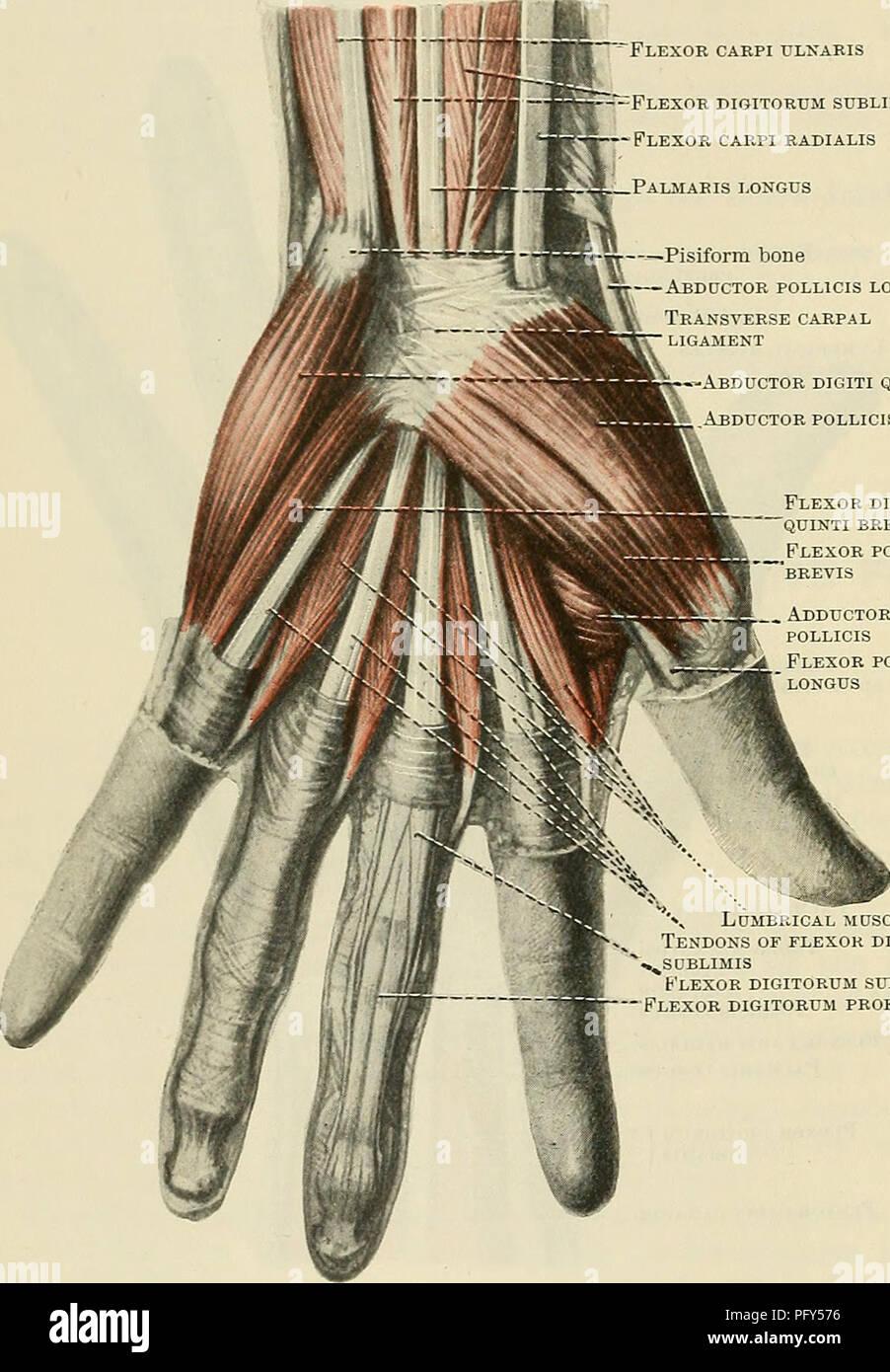 Transverse Carpal Ligament Stock Photos & Transverse Carpal Ligament ...