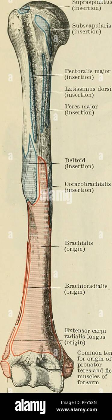 Axillary Artery Stock Photos & Axillary Artery Stock Images - Alamy