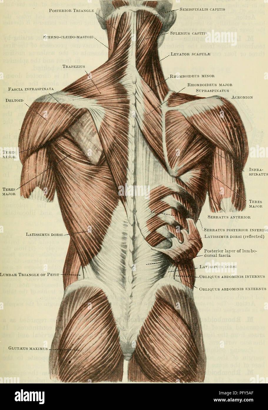 Latissimus Dorsi Anatomy Muscles Stock Photos & Latissimus Dorsi ...