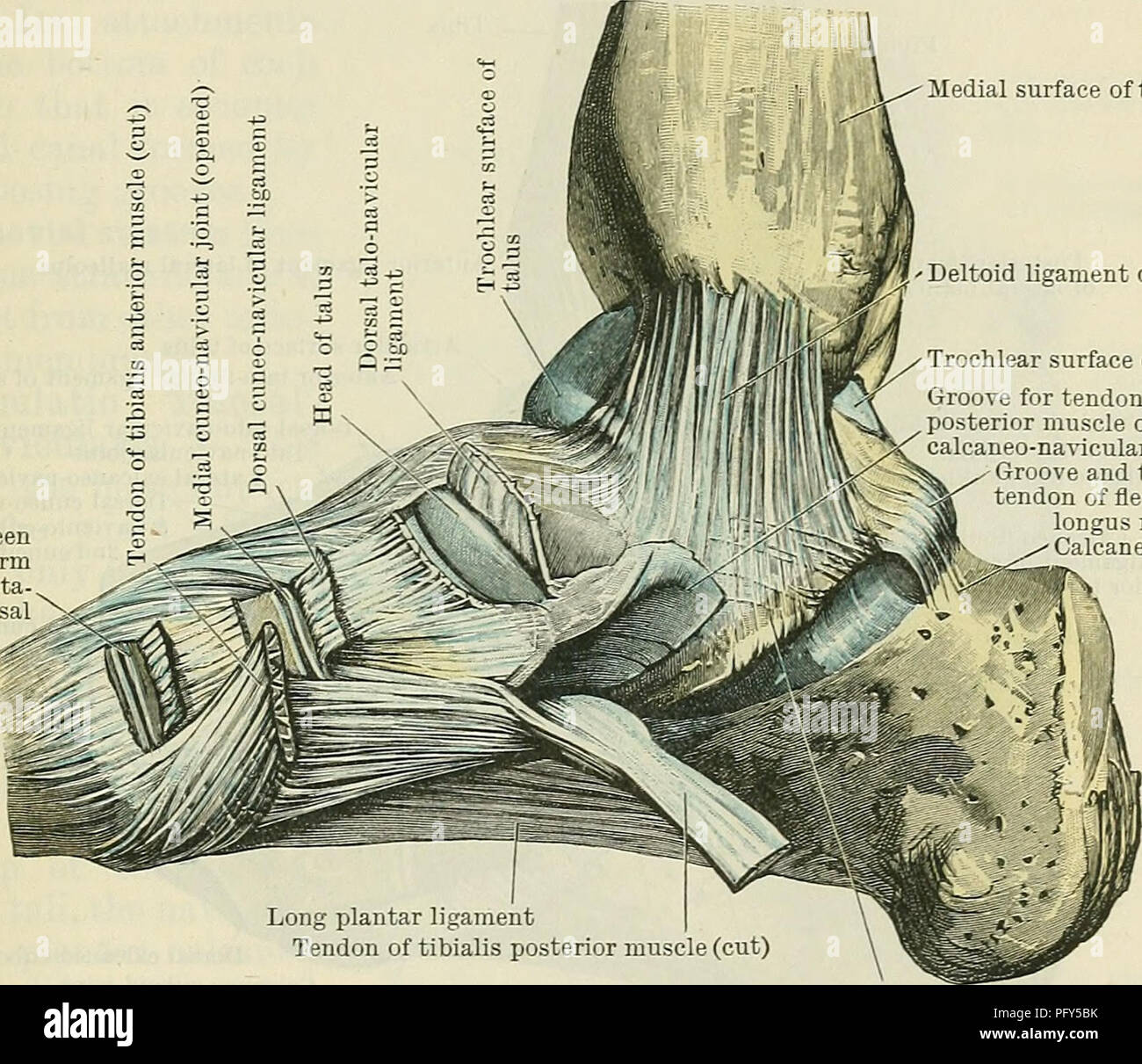 Cunningham\'s Text-book of anatomy. Anatomy. THE ANKLE-JOINT 353 than ...