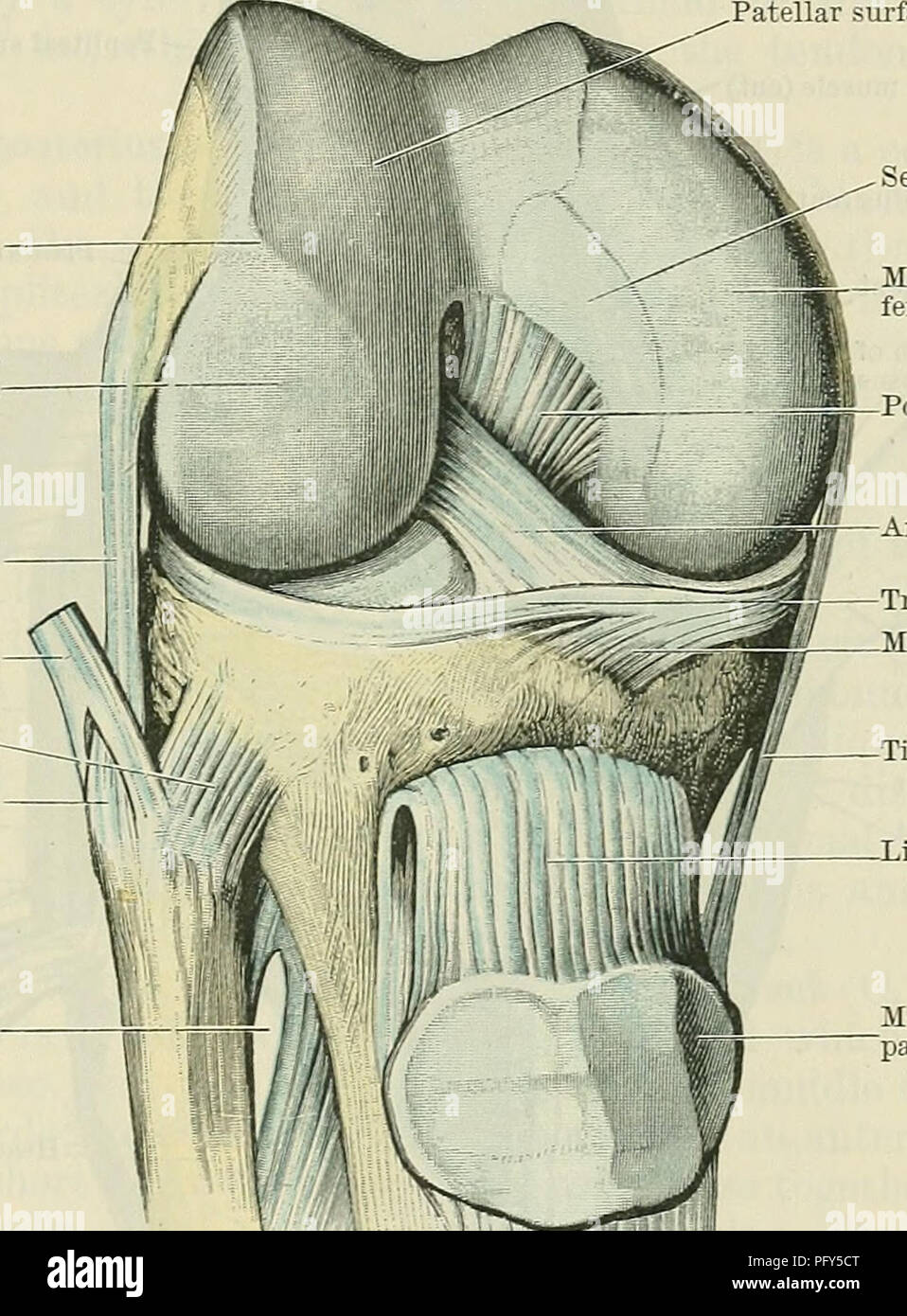Cunninghams text book of anatomy anatomy the knee joint 343 the anatomy the knee joint 343 the patellar portion fig 317 is situated anteriorly and is common to both condyles although developed to a larger extent ccuart Choice Image