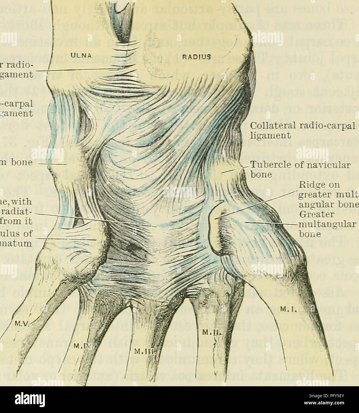 Styloid Bone Stock Photos & Styloid Bone Stock Images - Alamy