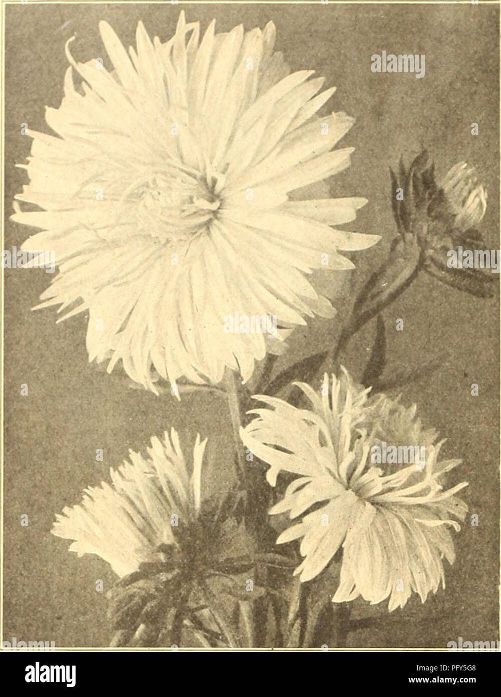 . Currie's farm and garden annual : spring 1920 45th year. Flowers Seeds Catalogs; Bulbs (Plants) Seeds Catalogs; Vegetables Seeds Catalogs; Nurseries (Horticulture) Catalogs; Plants, Ornamental Catalogs; Gardening Equipment and supplies Catalogs. 50 CURRIE BROTHERS COMPANY, MILWAUKEE, WIS.. CURRIE'S CHOICE ASTERS ASTBRMUM. splendid new type of the HohenzoUern Aster, of im- mense size, with very full center. The plant reaches a height of from 18 to 24 inches, growing very straight, with strong, sturdy stems, starting near the base. We offer it in three colors. AVhIte, Pink, Laven- der and -Mix - Stock Image