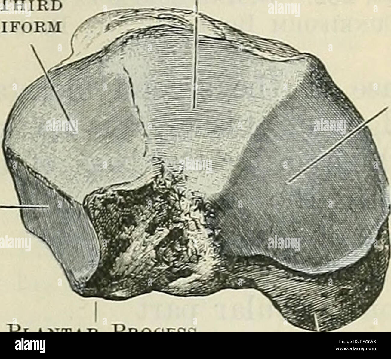 Cunningham\'s Text-book of anatomy. Anatomy. THE CUNEIFOEM BONES. 261 ...