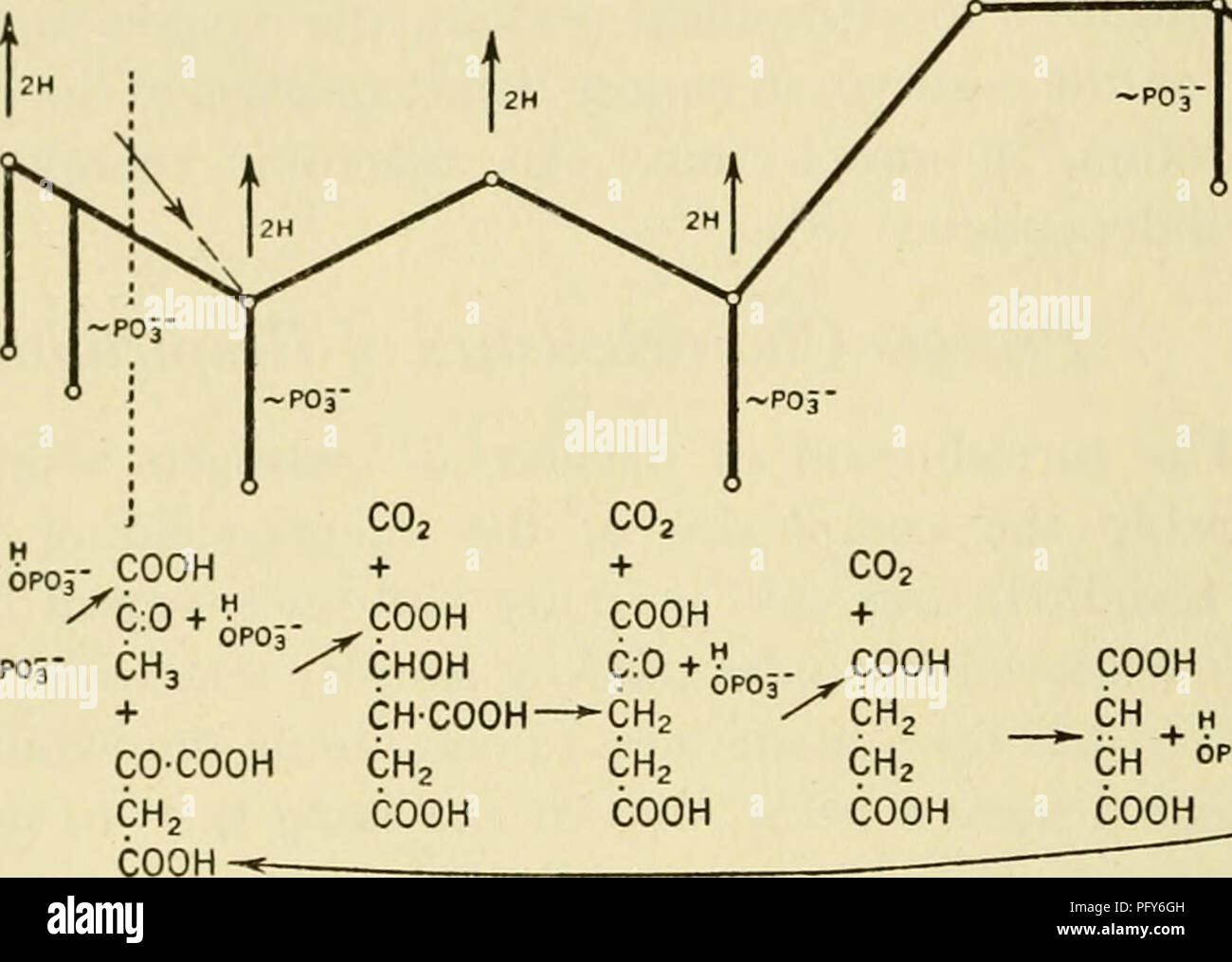 Currents In Biochemical Research Biochemistry FRITZ LIPMANN Line Cuts ArbitrarUy Through At The Succinate Fumarate
