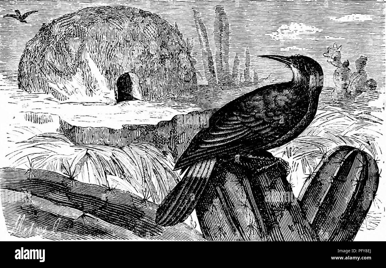 . Reptiles and birds. A popular account of the various orders; with a description of the habits and economy of the most interesting. Birds; Reptiles. 496 PASSERINES. early frosts of winter. They are found difiiised over all tlie South of Europe. The PicuMNUs {Climacteris picumnus, Temm.) have form and habits very similar to the Creeper, but the beak is stronger and more boldly curved. They are natives of Brazil and Guiana. The FuRNAEius {Furnarius figulus, Spix.) live singly or in pairs in the plains of Chili, Brazil, and Guiana. They feed princi- pally on seeds, but also on insects. They take - Stock Image