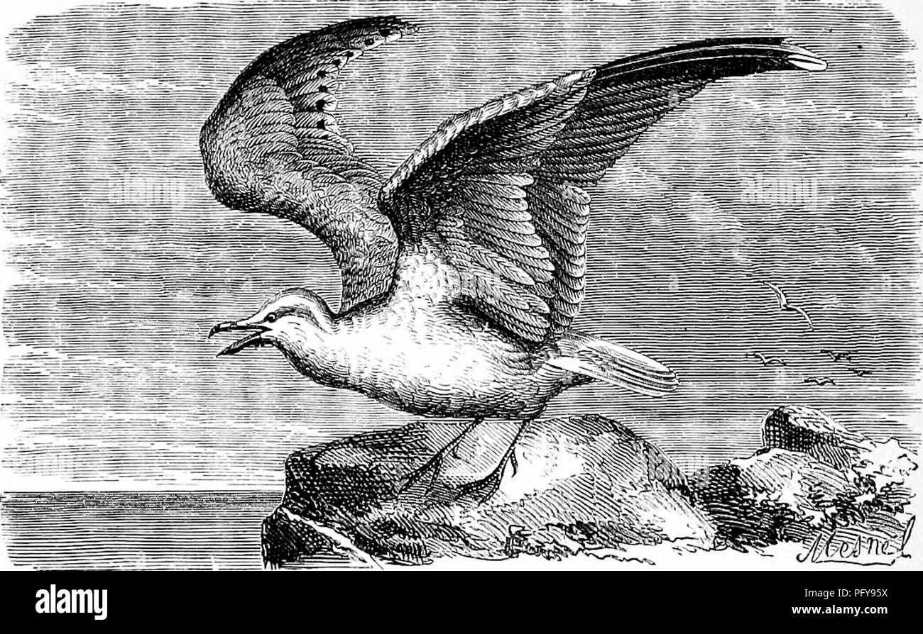 . Reptiles and birds. A popular account of the various orders; with a description of the habits and economy of the most interesting. Birds; Reptiles. 306 THE LAEID^. the dead bodies of whales and other large fish furnish them with abundant food. They prefer building their nests on desert islands in the Polar seas, where they are safe from man's intrusion. They lay two or three eggs in a hole scratched in the sand, or in the cleft of a rock. These birds are easily tamed, and soon take to domestic habits; but their flesh, which is hard and tough as leather, is unfit for human food. In order to r - Stock Image