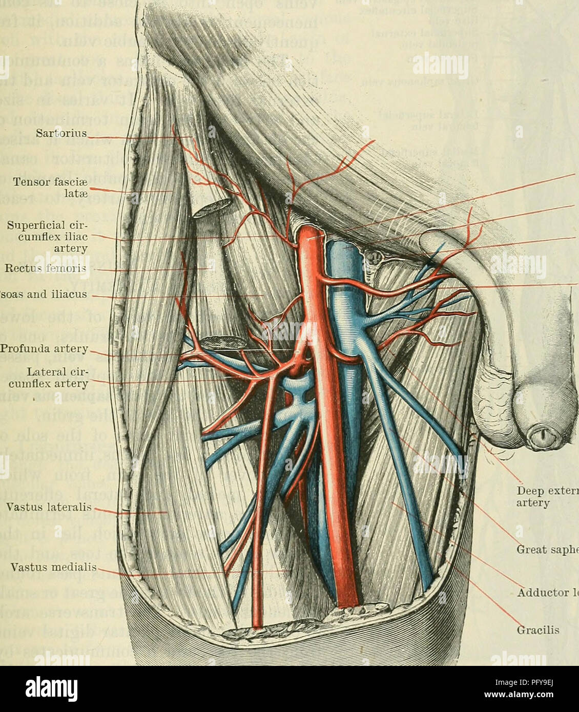 Femoral Artery Stock Photos & Femoral Artery Stock Images - Alamy