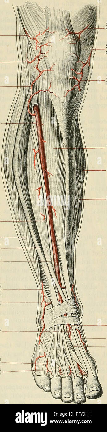 . Cunningham's Text-book of anatomy. Anatomy. 956 THE VASCULAE SYSTEM. (1) The fibular branch is a small vessel which may arise separately from the anterior tibial artery, or by a common stem -with the posterior tibial recurrent; occasionally it springs from the lower end of the popliteal artery, or from the posterior tibial. Superior lateral genicular artery Inferior lateral genicular artery Anterior tibial recurrent artery Anterior tibial artery Deep peronseal nerve Peronseus brevis— Extensor digi- torum longus Extensor hallucis longus Perforating branch of peroneal artery Lateral malleolar  - Stock Image