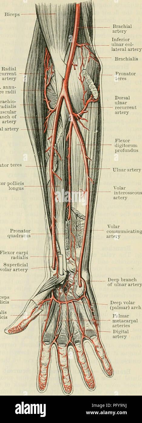 Radial Artery Stock Photos Radial Artery Stock Images Alamy