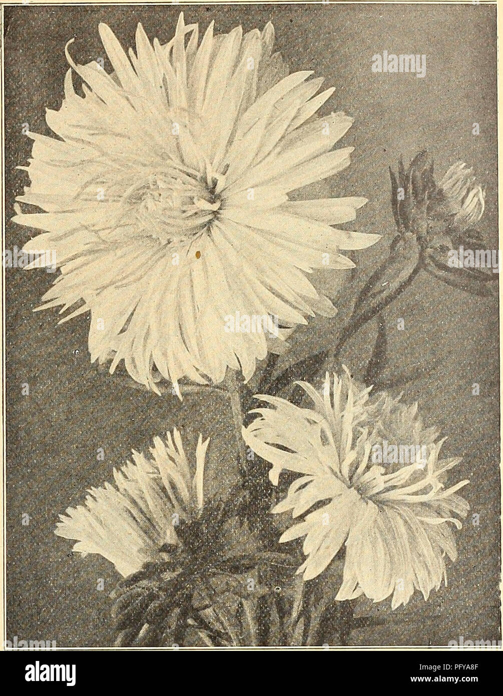 . Currie's farm & garden annual : spring 1922 47th year. Flowers Seeds Catalogs; Bulbs (Plants) Seeds Catalogs; Vegetables Seeds Catalogs; Nurseries (Horticulture) Catalogs; Plants, Ornamental Catalogs; Gardening Equipment and supplies Catalogs. LIST OF CHOICE ASTER SEEDS FOR 1922. 49 CURRIE'S CHOICE ASTERS ASTERMUM. Pkt. A splendid new type of the Hohenzollern Aster, of Im- mense size, with very full center. The plant reaches a height of from 18 to 24 inches, growing very straight, with strong, sturdy stems, starting near the base. We offer it in three colors, White, Pink, Laven- der and  - Stock Image