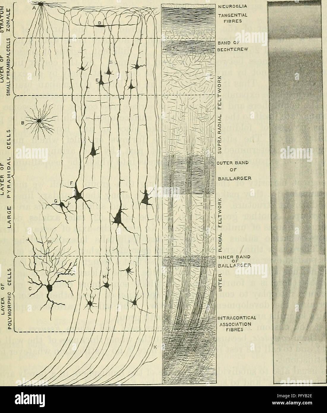 Cerebral Cortex Nerve Cell Stock Photos & Cerebral Cortex Nerve Cell ...