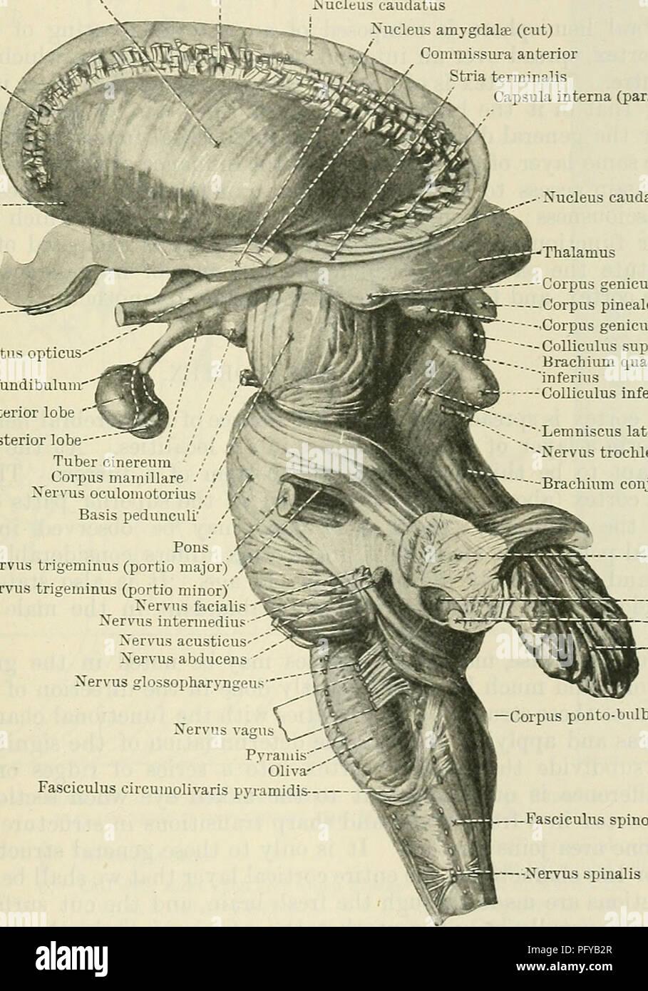 Cunninghams Text Book Of Anatomy Anatomy Basal Ganglia Of The