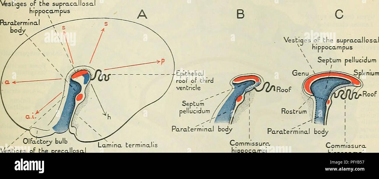 Corpus Callosum Hemispheres Stock Photos & Corpus Callosum ...