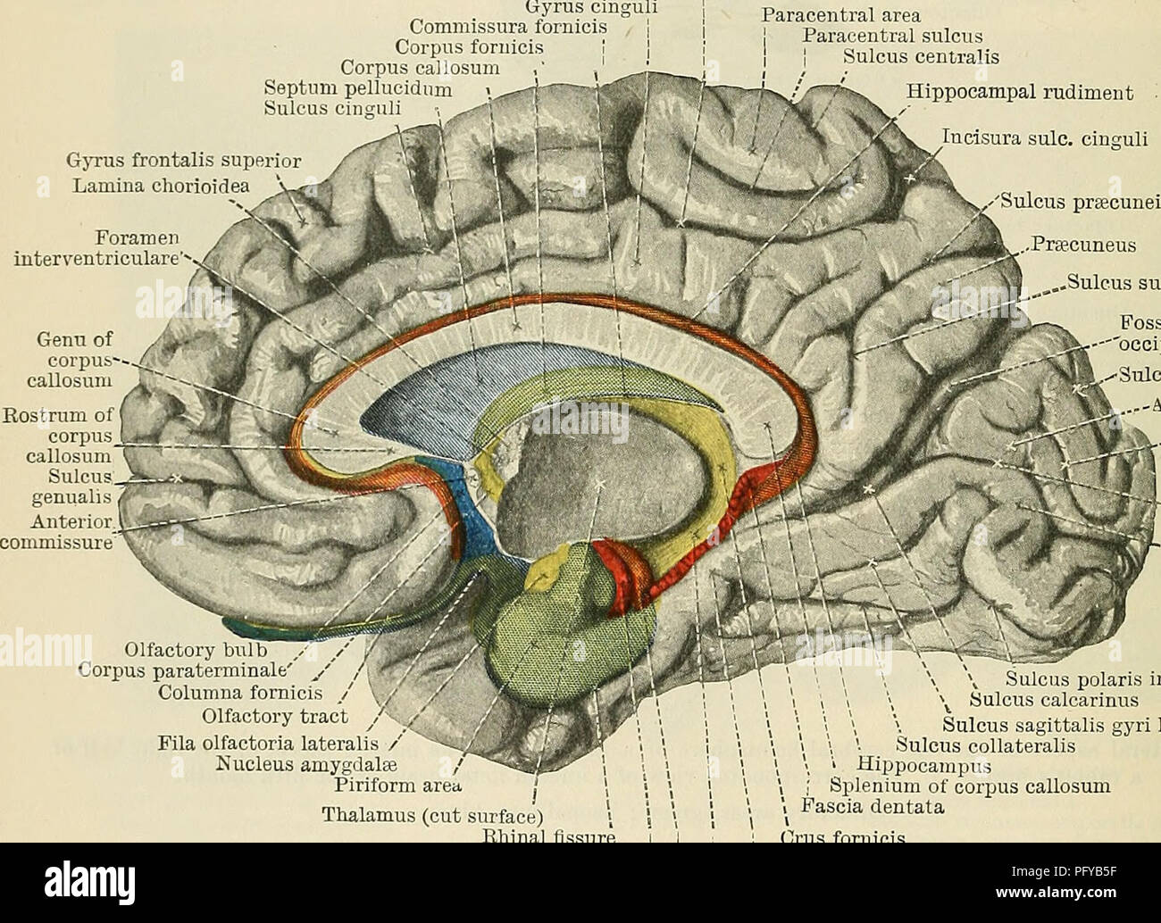 . Cunningham's Text-book of anatomy. Anatomy. 626 THE NEKVOUS SYSTEM. impressions of smell are brought into relation with those of other senses (probably taste); and from the hippocampal cells fibres are emitted to form a system known as the fornix, which establishes connexions with the hippocampus of the other hemisphere and with the hypothalamus, thalamus, and more distant parts of the brain. The rudiment of the hippocampal formation that develops on the medial surface begins in front, alongside the place where the stalk of the olfactory peduncle (which becomes the trigonum olfactorium) is i - Stock Image