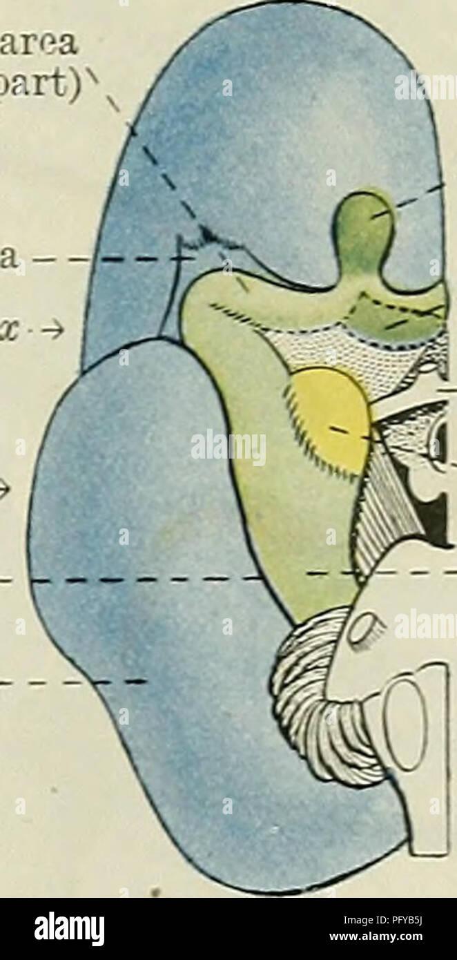 Cunningham\'s Text-book of anatomy. Anatomy. Piriform area (anterior ...
