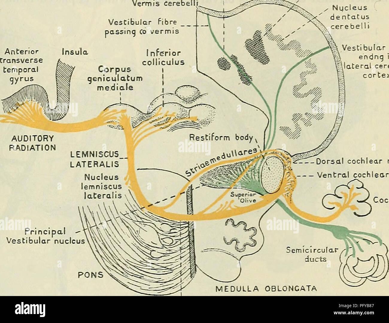 Cunninghams Text Book Of Anatomy Anatomy The Deep Connexions Oe