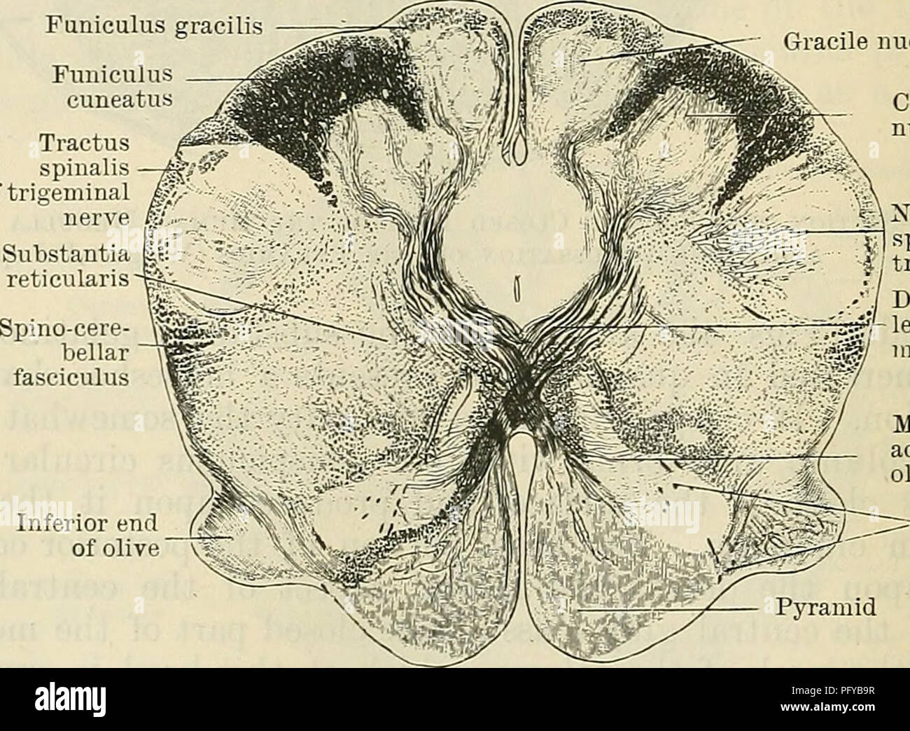 Spinalis Stock Photos Images Alamy Diagramoftheeye23 Diagram Picture Cunninghams Text Book Of Anatomy Cuneate Nucleus Tractus Fifth